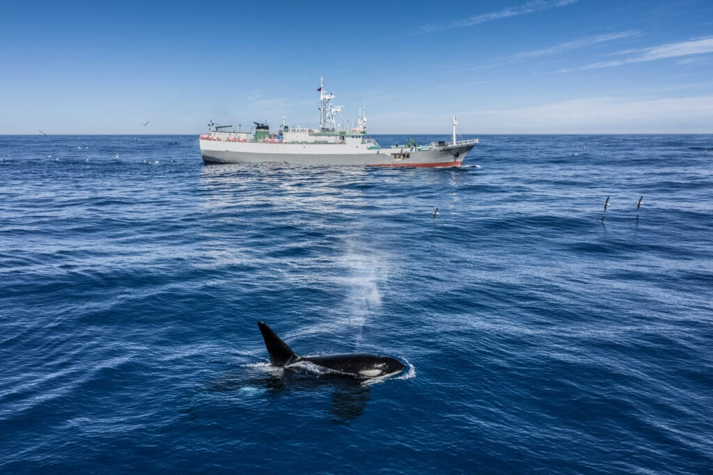 Orca at the ocean surface with a large ship in the background.