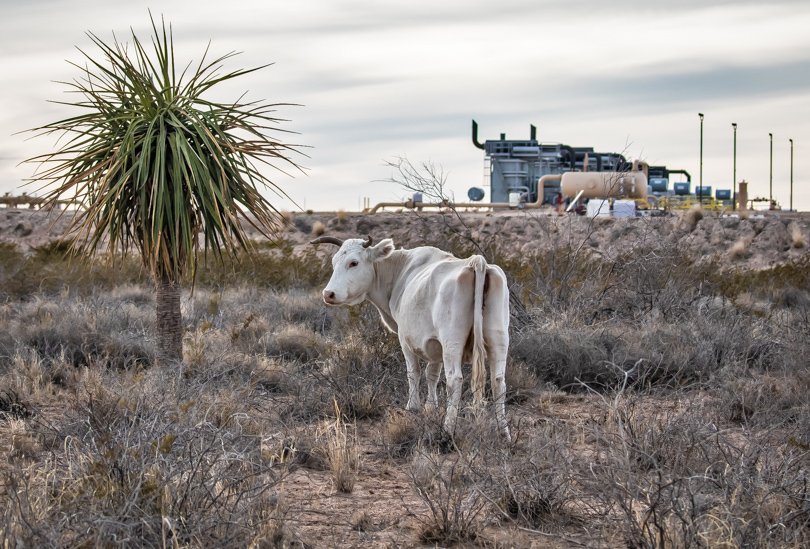 Cattle on state land outside Pecos